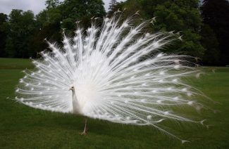 Presenting White Peacocks For A Dream Wedding
